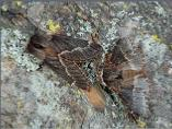 December Moth - male at right