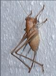 Female Moroccan Bush Cricket