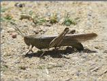 Female Egyptian Grasshopper