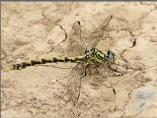 Female Large Pincertail