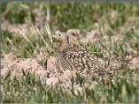 Black-bellied Sand Grouse