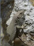 Female Sierra Nevada Ocellated Lizard