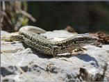 Pyranean Rock Lizard
